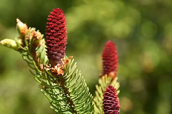 Macro photography of red pine cone