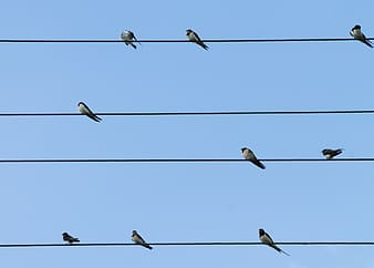 Flock of Barn swallows perched on cable during daytime