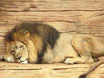 Brown and black lion lying on brown wooden surface