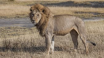 Lion on brown grass during daytime