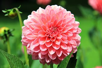 Closeup photography of pink dahlia