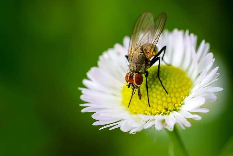 Hoverfly perched on yellow and white petaled flower