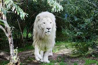 Lion sitting on ground near green trees during daytime