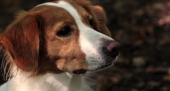 Brown and white short coated dog