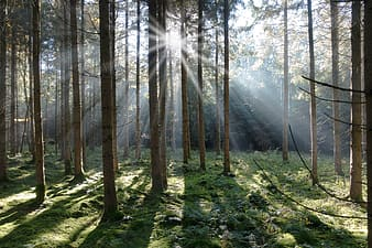 Sunlight through tall trees