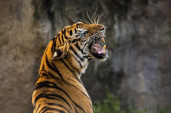 Selective focus photography of bengal tiger