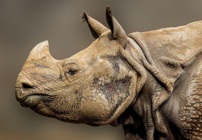 Wildlife photo of beige rhino