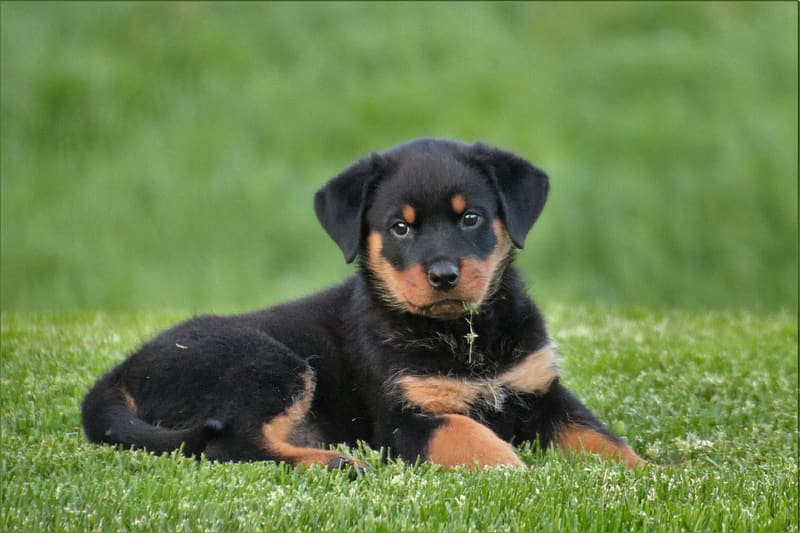 Mahogany Rottweiler puppy lying on the green grass
