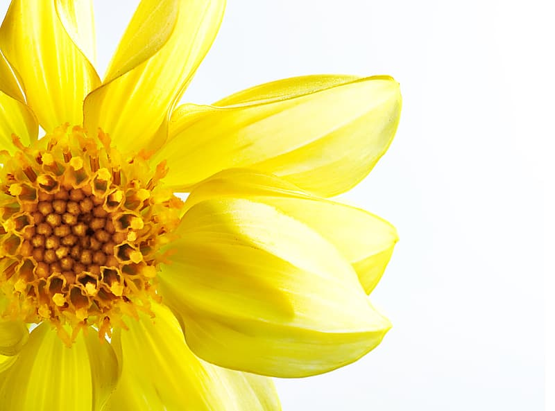 Yellow flower in white background