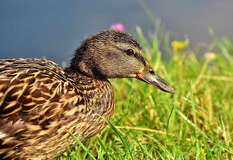 Brown and black duck on green grass during daytime