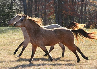 Photo of two brown horse running