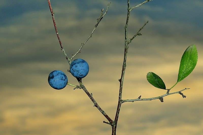 Blue round fruit on brown tree branch
