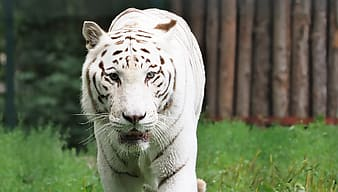 White tiger on green field of grass outdoor