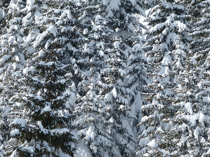 Photo of pine cones with snowfields