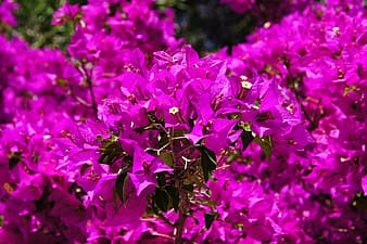 Closeup photography of pink bougainvilleas