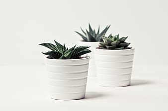 Three green succulent plants
