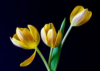 Three yellow tulip flowers