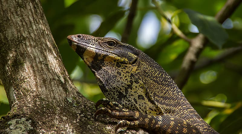Black and yellow lizard on brown tree branch