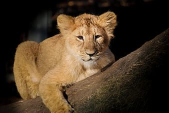 Brown lion cub on tree trunk