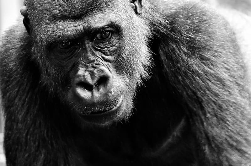 Grayscale photography of gorilla