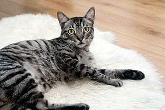 Short-coated gray Tabby cat lying on white surface