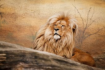 Brown lion near leafless plant