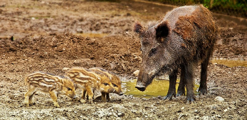 Black and brown wild boar