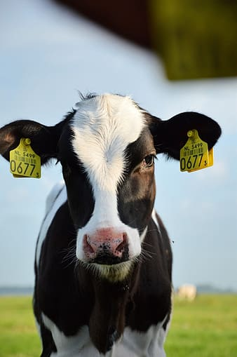 Soft focus photography of white and black cattle