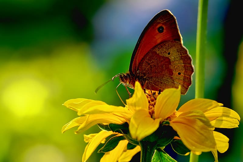 Shallow focus photography of brown butterfly on yellow flower