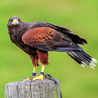 Brown bird perched on brown wooden stand