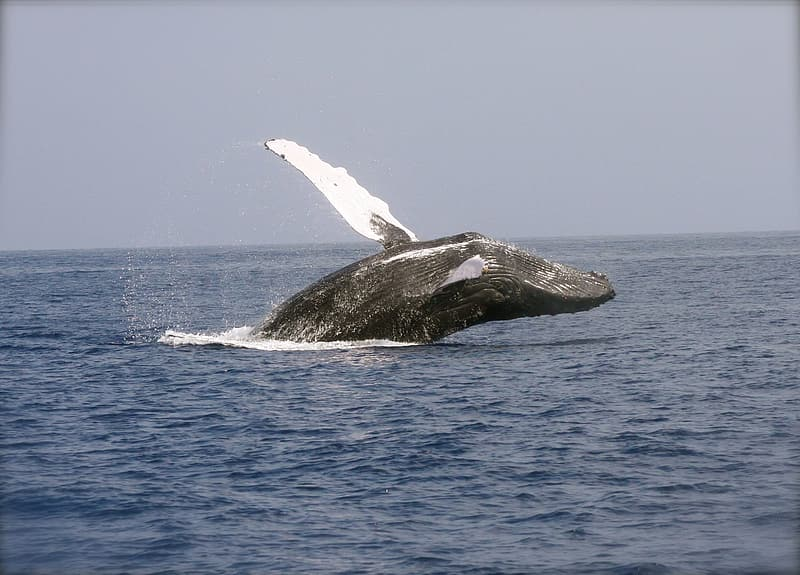 Hump back whale jumps over sea