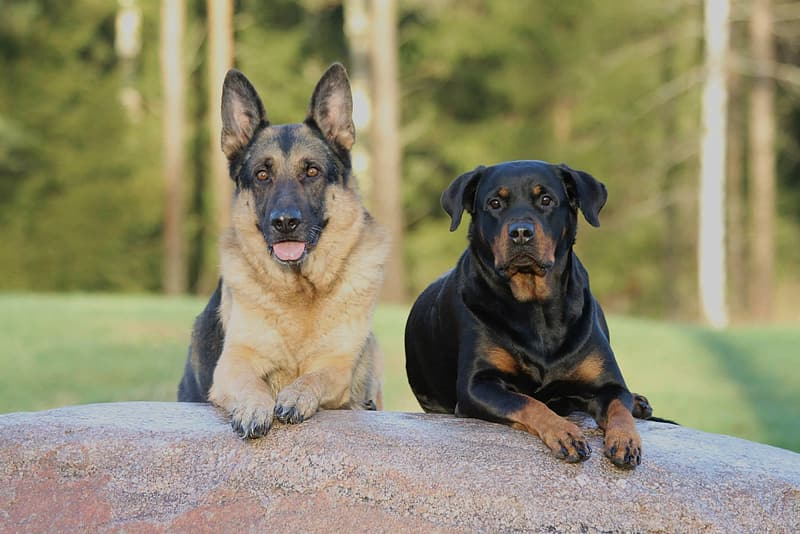 Adult black and tan German shepherd with mahogany Rottweiler