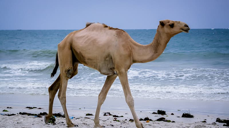 Brown camel