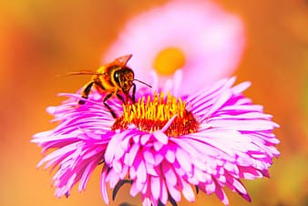 Black and yellow bee on pink and white flower