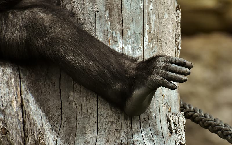 Black monkey on brown wooden surface