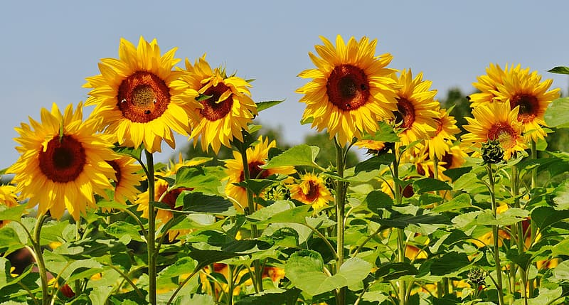 Photo of sunflower field at daytime