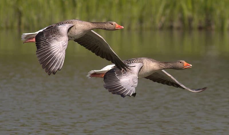 Two brown and black duck flying at daytime