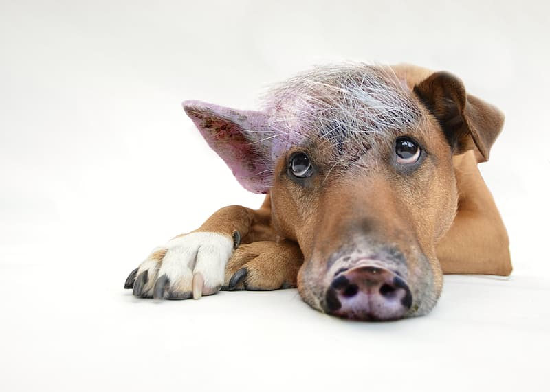 Edited photo of tan and white dog mixed by pig