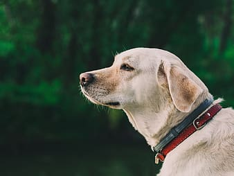 Yellow Labrador Retriever wearing blue and red dog collar