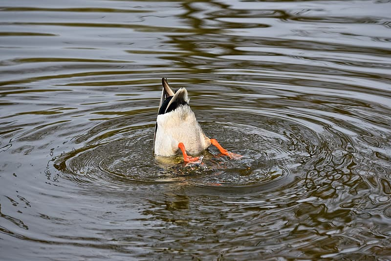 Duck diving on body of water