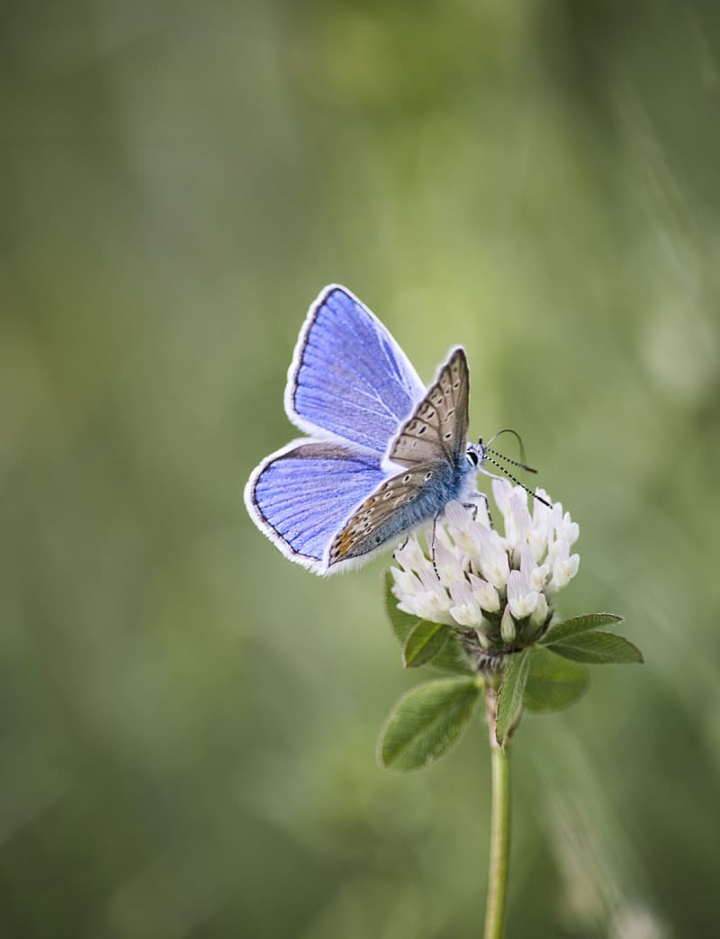 Common blue butterfly perching on white flower in selective focus photography