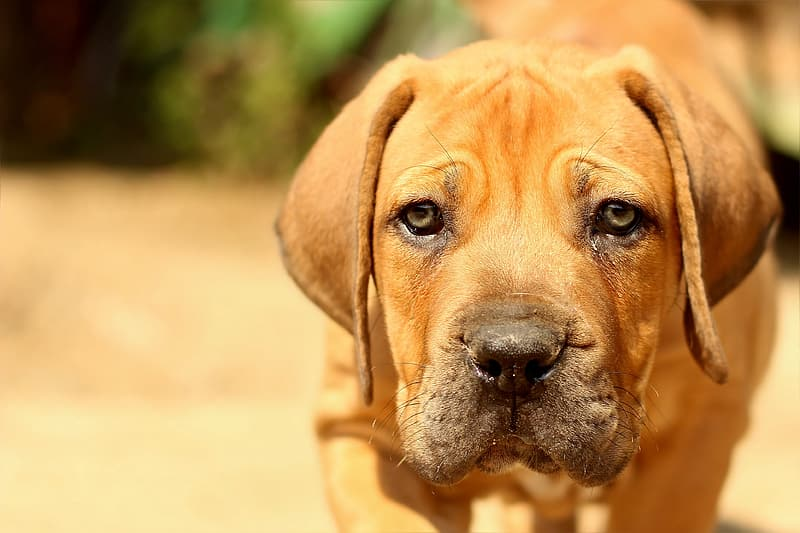 Brown American pit bull terrier puppy