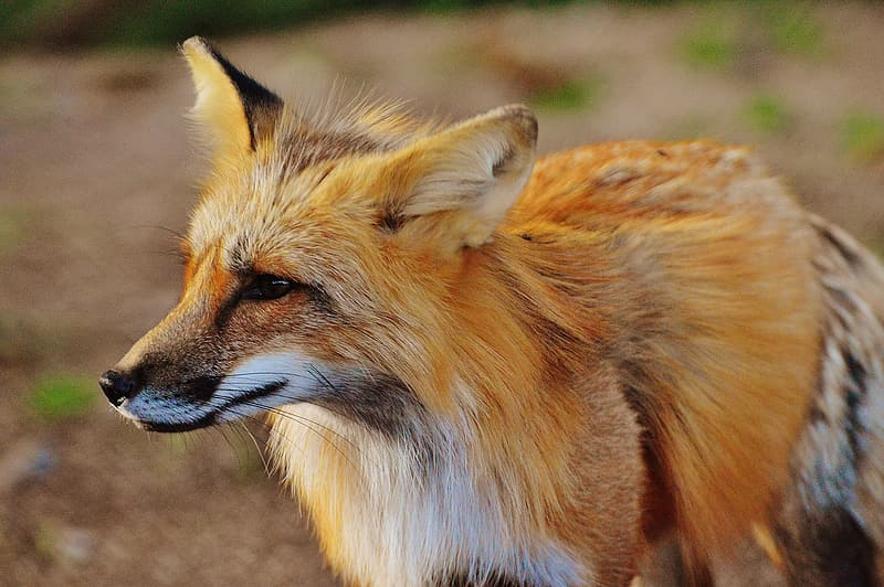 Selective focus photography of brown fox at daytime