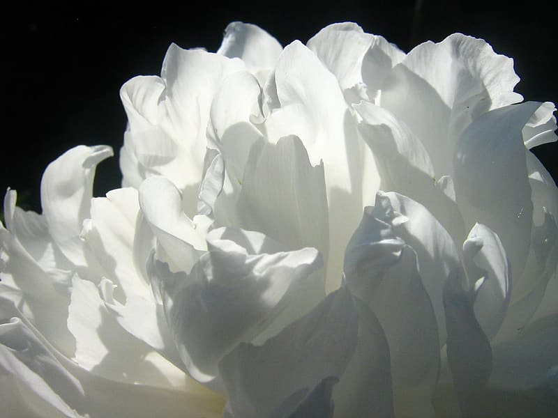 White petaled flower in closeup photography