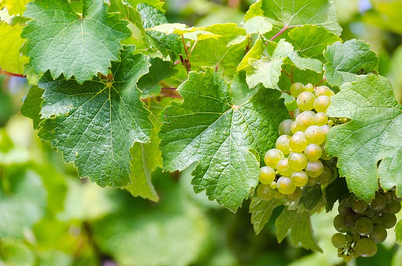 Green grapes during daytime