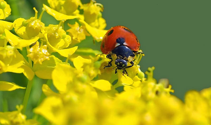 Selective focus photography of red ladybug perching on yellow flower