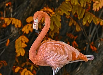 Pink flamingo in close up photography