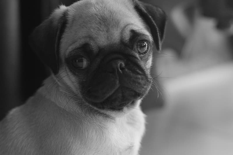 Grayscale photography of fawn pug