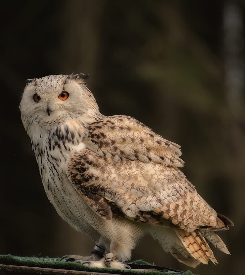 Brown and white owl on brown tree branch