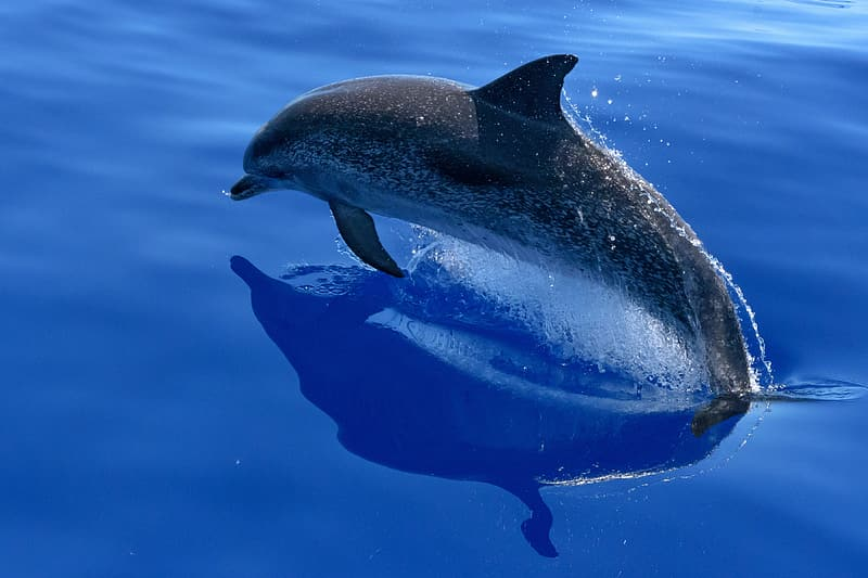 Gray dolphin jumping on water